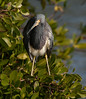 untitled20110202_TriColHeron DingDarlingFL_7I2B4119_11-02-02