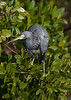 untitled20110202_TriColHeron DingDarlingFL_7I2B4130_11-02-02
