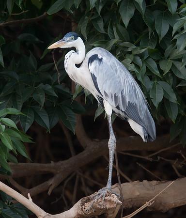 untitled20100924WhtNeckHeron Pantanal_7I2B8911_10-09-24