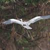 untitled20100924WhtNecHeron Pantanal_7I2B8687_10-09-24