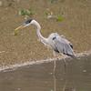 untitled20100922WWhtNeckHeron Pantanal_7I2B8274_10-09-22