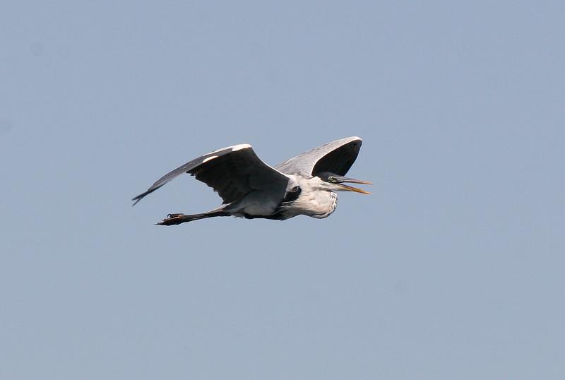 White-necked heron (4)_431_08-05-05
