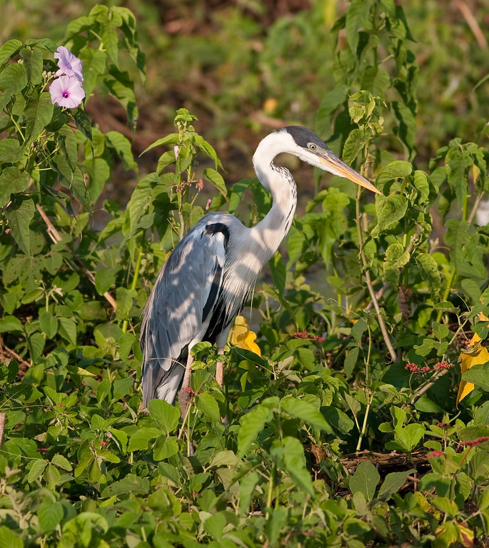 White-Necked Heron Pant_06-08-16_0010
