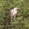 untitled20100922WWhtNeckHeron Pantanal_7I2B8285_10-09-22