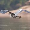 untitled20100924WhtNecHeron Pantanal_7I2B8686_10-09-24