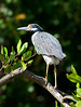 Yellow-crowned night Heron_07-08-20_0040