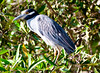 Yellow-crowned night Heron_07-08-20_0006