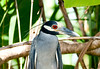 Yellow-crowned night Heron_07-08-20_0046