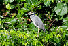 Yellow-crowned night Heron_07-08-20_0001