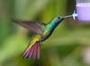 Black-throated Mango Hummer_14-10-11_IMG_8884