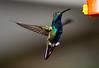 Black-throated Mango Hummer_14-10-10_IMG_8119