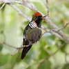 Frilled Coquette Hummer_14-10-14_IMG_0022