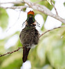 Frilled Coquette Hummer_14-10-14_IMG_0059