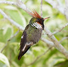 Frilled Coquette Hummer_14-10-14_IMG_0111