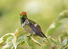 Frilled Coquette_17-08-25__45A4208