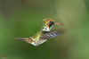 Frilled-coquette Hummer_14-10-13_IMG_9476