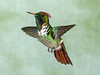 Frilled Coquette_17-08-24__45A3919