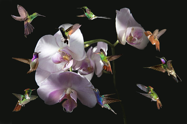 OrchidHummer20 x 30 B