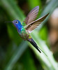 Swallow-tailed Hummer_14-10-11_IMG_8691