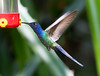 Swallow-tailed Hummer_14-10-11_IMG_8834