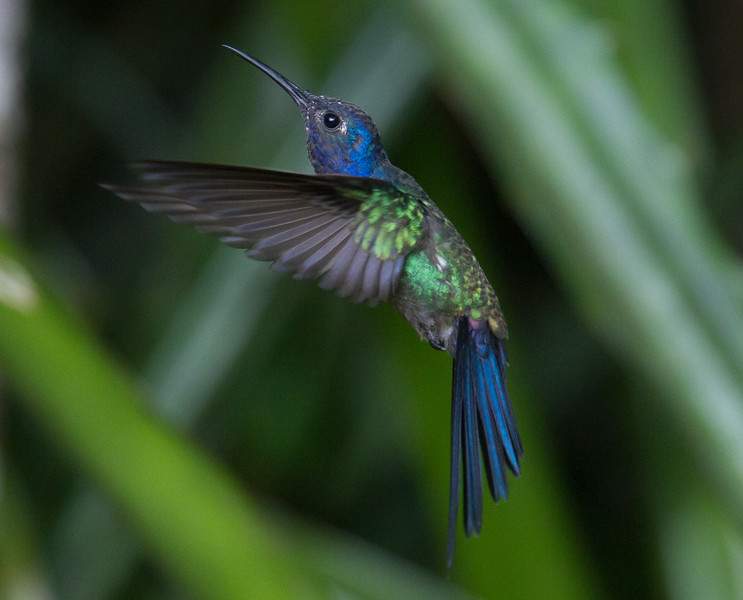 Swallow-tailed Hummer_14-10-11_IMG_8673