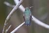 Versicolored-emerald Hummer_14-10-07_IMG_7890