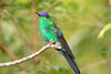 Violet-capped Woodnymph_17-08-25__45A4175