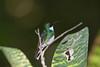 White-throated Hummer_14-10-14_IMG_9687