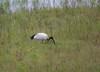 AfricanSacredIbis Chobe_14-03-09__O6B1655