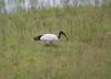 AfricanSacredIbis Chobe_14-03-09__O6B1656