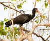 Bare-Faced Ibis Pant_06-08-15_0007