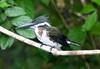 Kingfisher, Amazon (4)