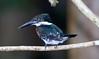 Kingfisher, Amazon