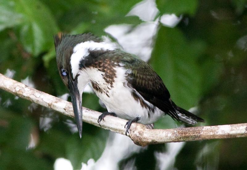 Kingfisher, Amazon (6)