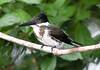 Kingfisher, Amazon (7)