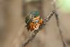 AmPygmyKingfisher VilLapas_09-11-01_7I2B1532
