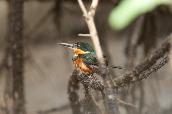 AmPygmyKingfisher VilLapas_09-11-01_7I2B1534