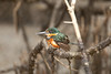 AmPygmyKingfisher VilLapas_09-11-01_7I2B1536
