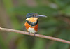 American Pygmy Kingfisher, the smallest kingfisher in the America's