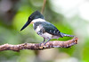 GreenKingfisher (34)