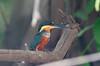 Kingfisher Pantanal_7I2B8757_10-09-24
