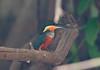 Kingfisher Pantanal_7I2B8758_10-09-24