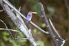 MalachiteKingfisher Chobe_14-03-08__O6B1004