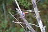 MalachiteKingfisher Chobe_14-03-08__O6B1009