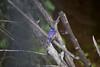 MalachiteKingfisher Chobe_14-03-08__O6B1006
