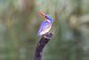MalachiteKingfisher Chobe_14-03-08__O6B1000