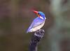 MalachiteKingfisher Chobe_14-03-08__O6B1003
