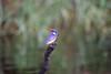 MalachiteKingfisher Chobe_14-03-08__O6B1001
