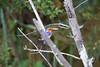 MalachiteKingfisher Chobe_14-03-08__O6B1008