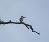 PiedKingfisher Chobe_14-03-08__O6B1120